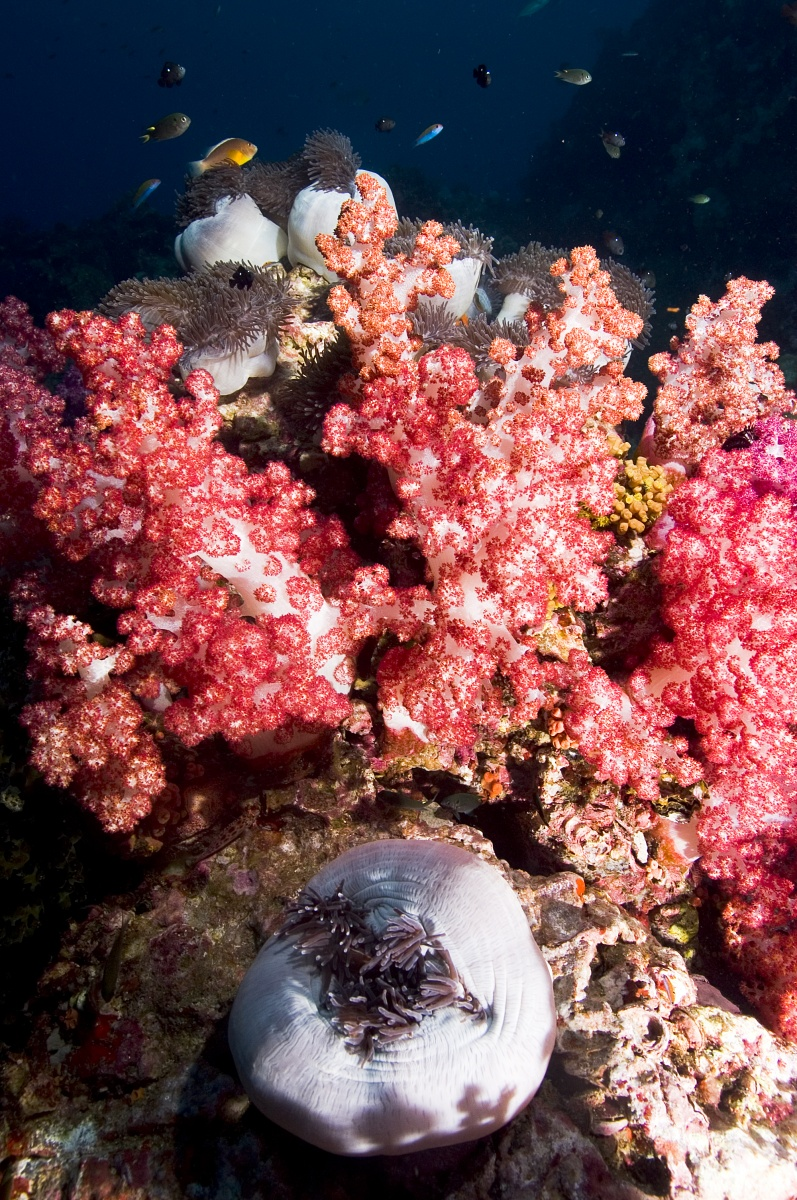 anemcoral